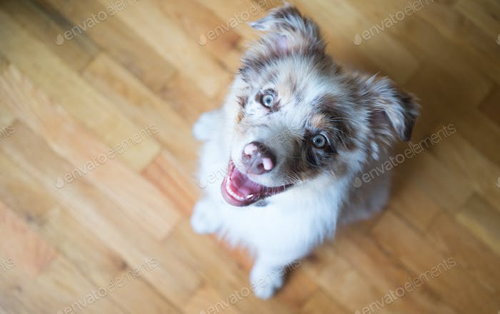 Purebred Australian Shepherd Puppy Stands Looking Up
