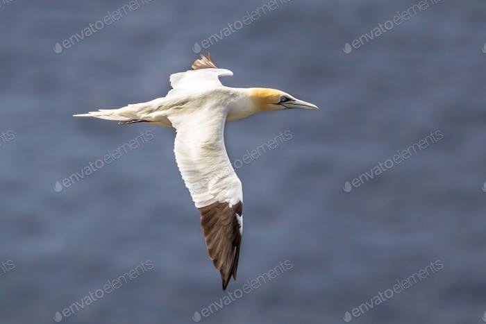 Northern gannet in flight against ocean background