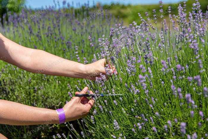 Female hand collecting lavender