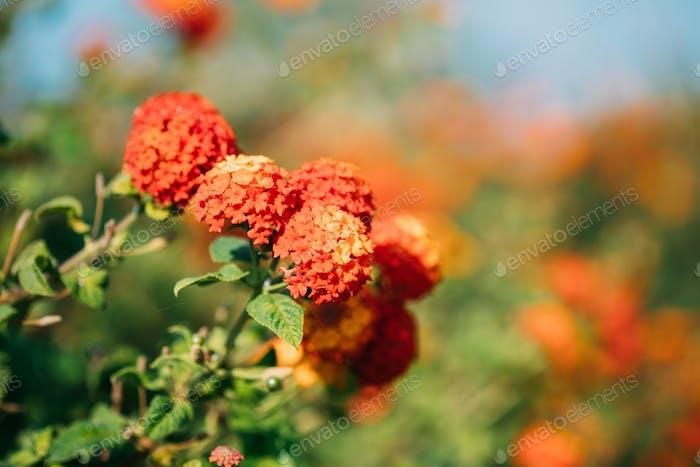 Blooming Orange Flowers Of Lantana In Garden