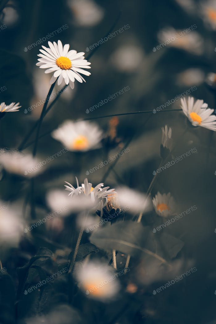 Chamomile flowers macr on sping meadow