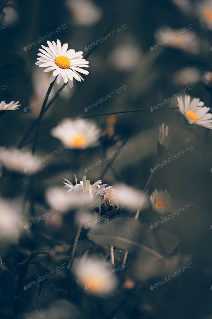 Flores de manzanilla macr en pradera de sping