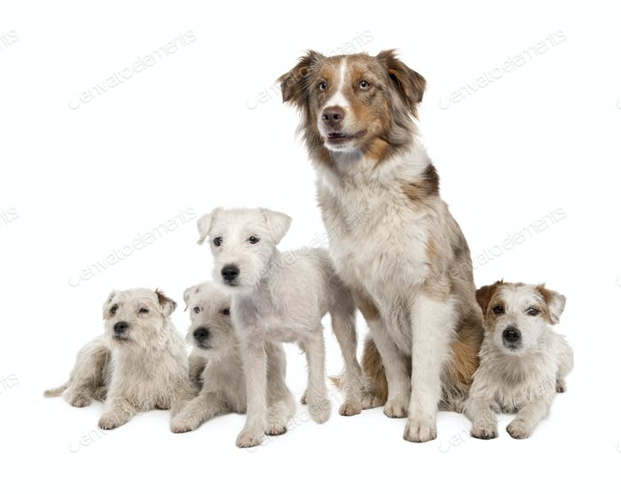 group of 4 Parson Russell Terrier and a Australian Shepherd