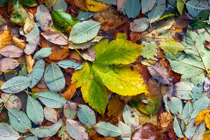 Autumn leaves in puddle water