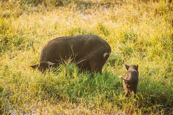 Große und kleine Haushalts-Schwarze Schweine auf der Suche nach Nahrung In Frischem Grünem Gras In Farm. Schweinehaltung ist