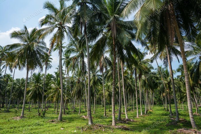Thumbnail for Coconut plantation in Asia