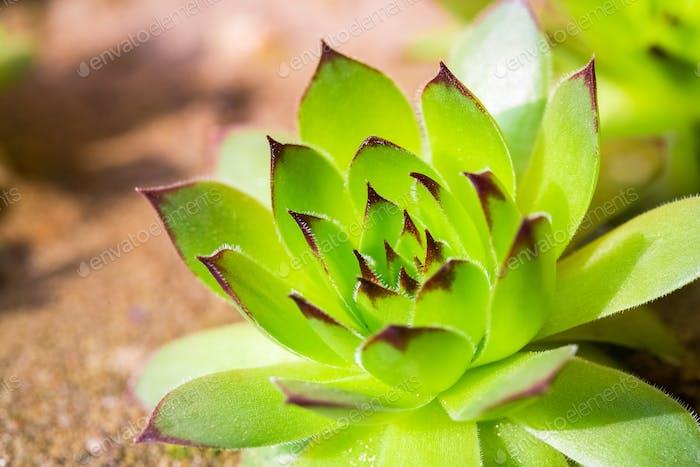 grüne Sempervivum Pflanze
