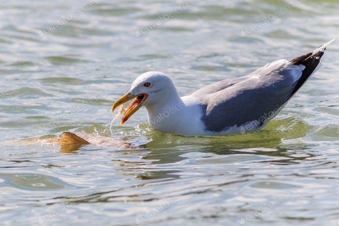 seagull in Danube Delta, Romania