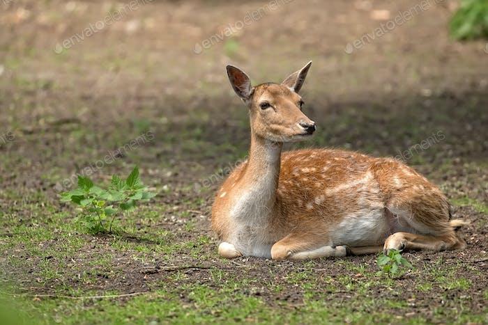 Fallow deer resting in the wild