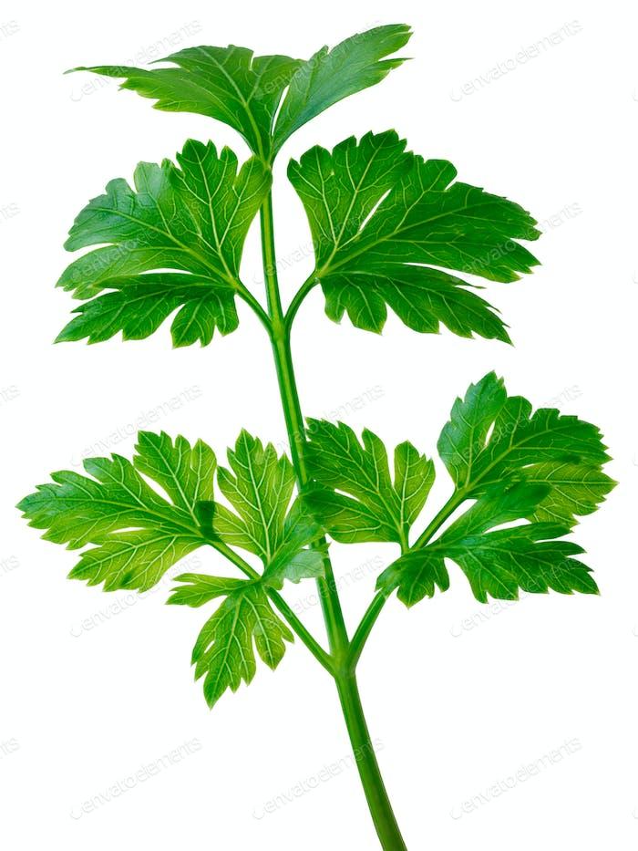Flat-leaved parsley