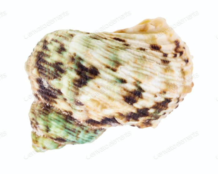 green and brown spotted conch of whelk mollusc