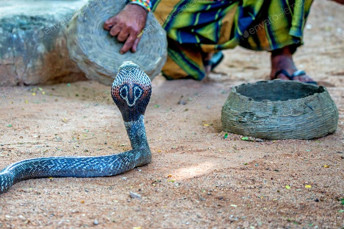 Snake charmer plays with indian cobra