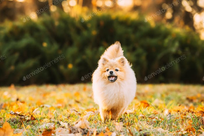 Funny Young Happy Red Puppy Pomeranian Spitz Puppy Dog Happy Play Outdoor In Autumn Grass