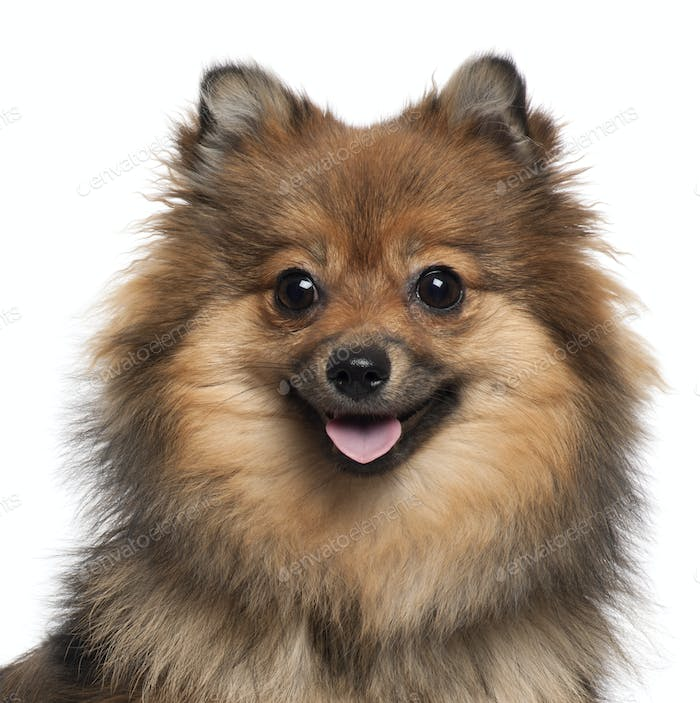 German Spitz (8 months old)