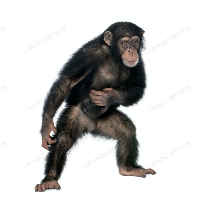 Young chimpanzee, Simia Troglodytes, 5 years old, standing in front of white background, studio shot