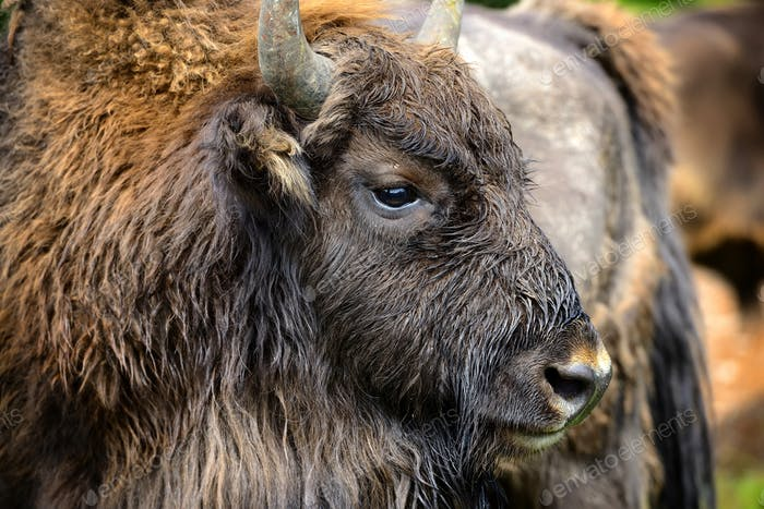 Portrait of European bison (Bison bonasus). Wisent.