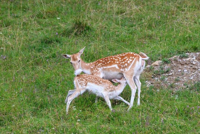 fallow deer (Dama dama). Parc de Merlet, France