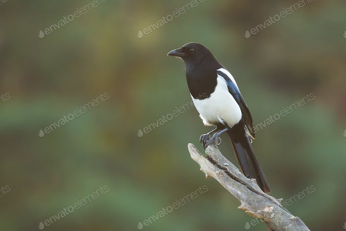 Calm eurasian magpie sitting on branch in summer nature