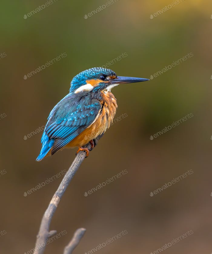 Common European Kingfisher waiting