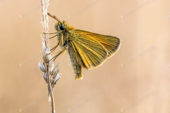 Essex skipper with tranquil background