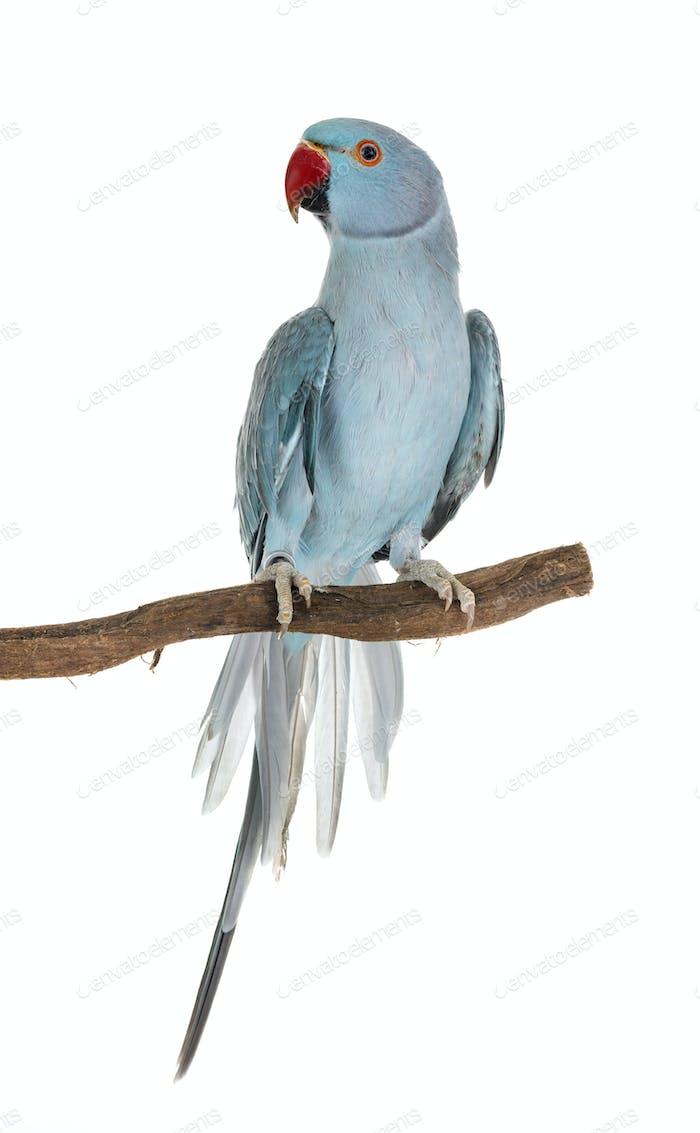 Rose-ringer parakeet in studio