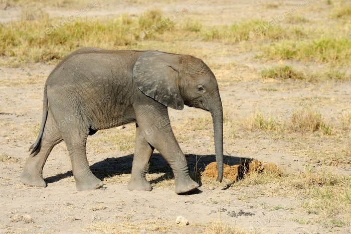 Baby elephant in National park of Kenya