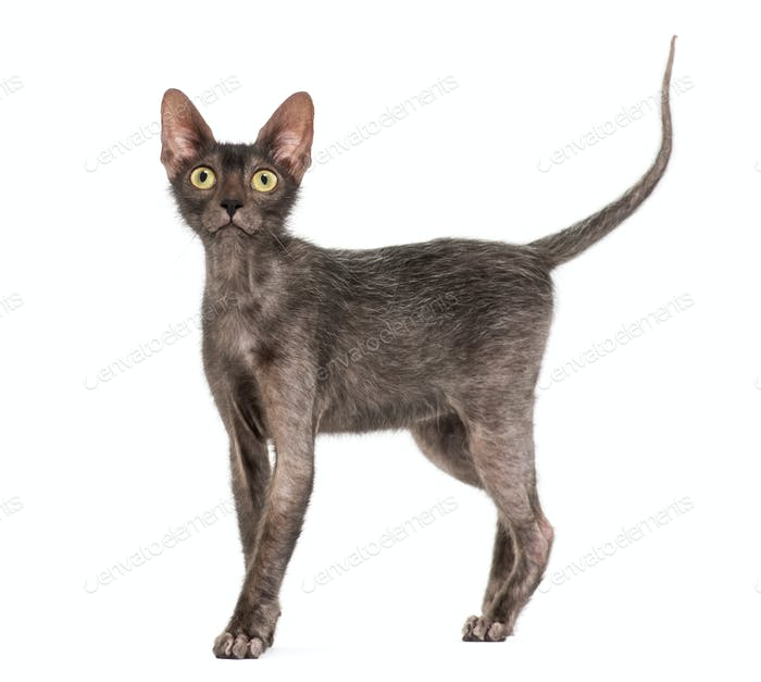 Lykoi cat, 7 months old, also called the Werewolf cat against white background
