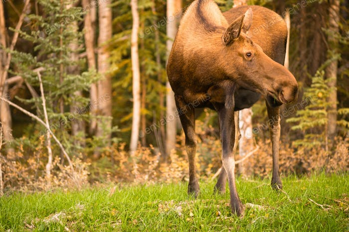 Female Moose Cow Feeding On Grass Alaska Wilderness