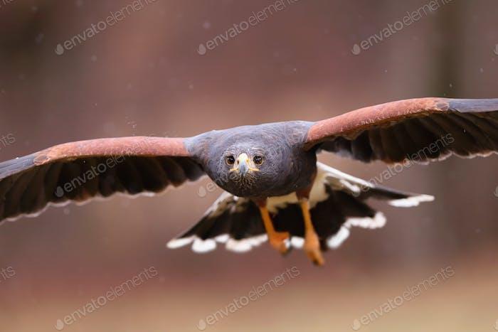 Close-up of harris hawk in flight facing camera in autumn