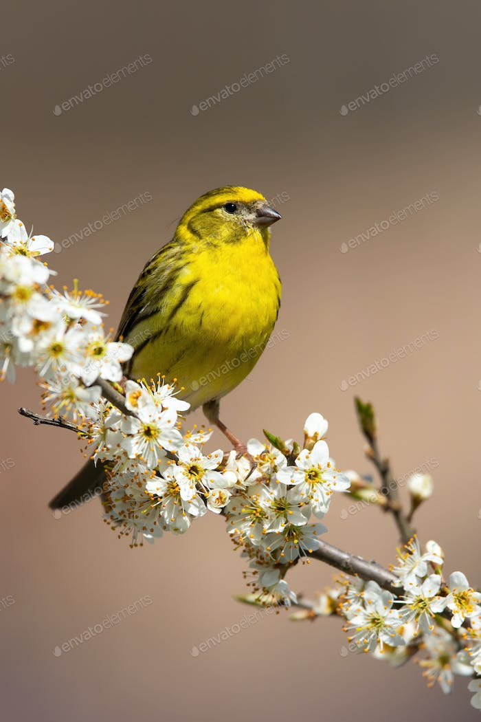European serin male sitting on a blooming cherry twig in vertical composition