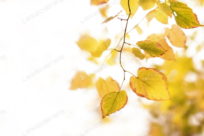 Autumn background with orange, yellow leaves and golden sun lights
