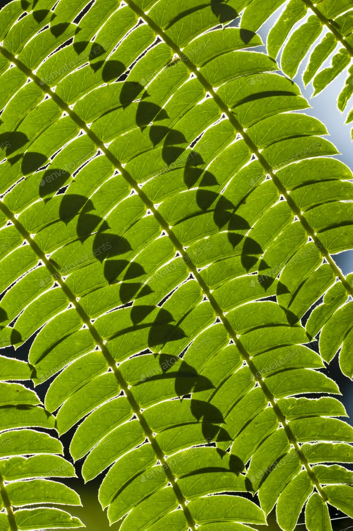 Lines and shadows on Mimosa leaf