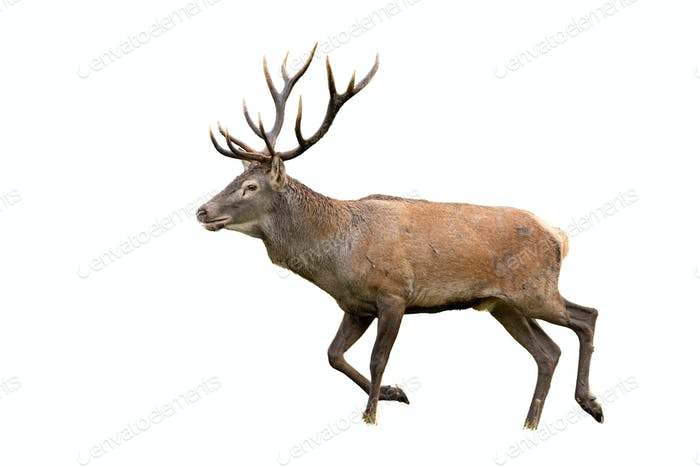 Isolated walking red deer stag with antlers