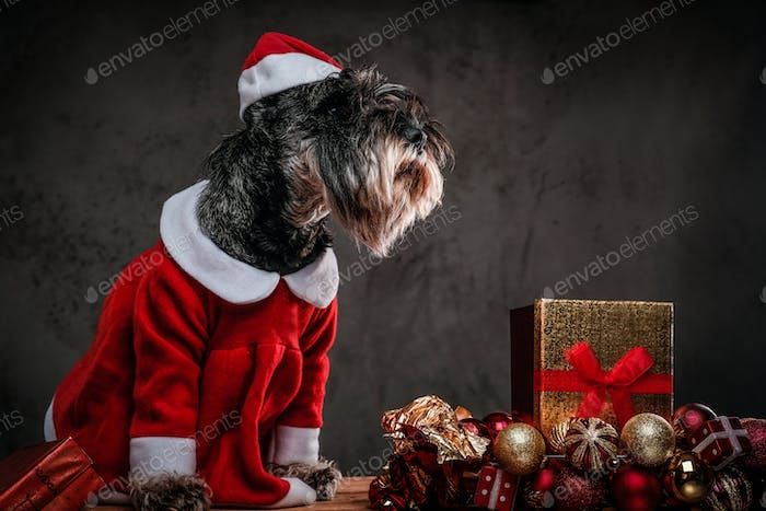 Cute Scottish terrier wearing Santa's costume at Christmas time