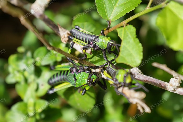 Green and black grasshopper