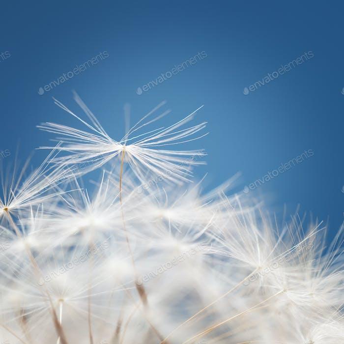 Dandelion fluff on a blue background