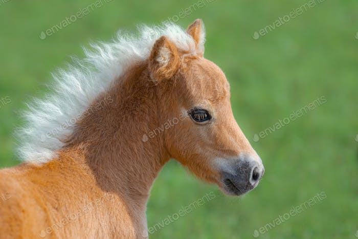 American Miniature Horse. Portrait close up of palomino foal.