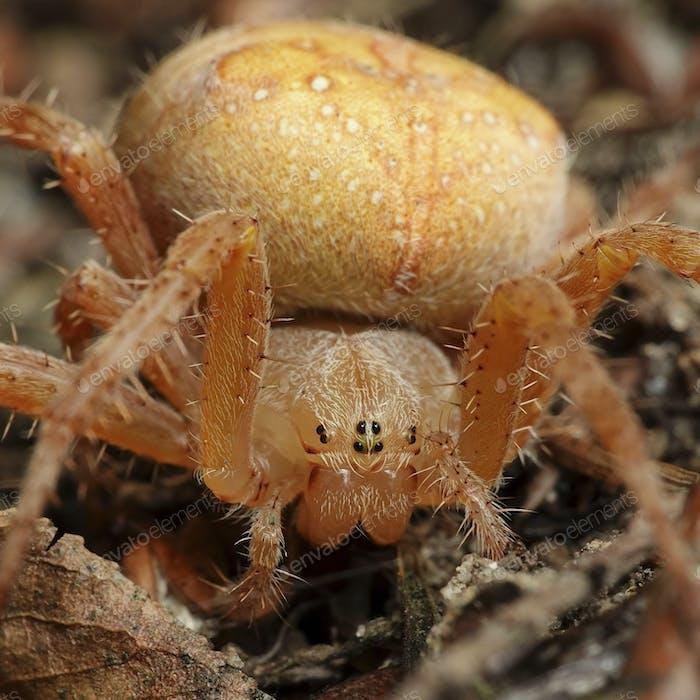 Cross spider (Araneus diadematus)