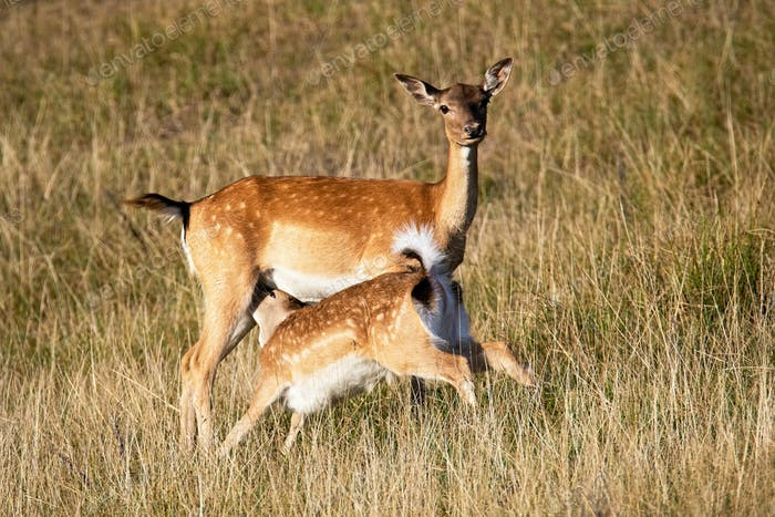Fallow deer hind feeding fawn on on meadow in summer nature