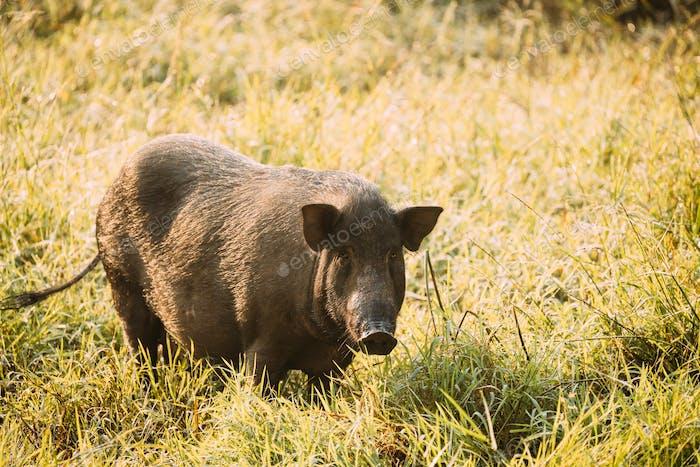 Big Household Black Pig In Fresh Green Grass In Farm. Pig Farming Is Raising And Breeding Of