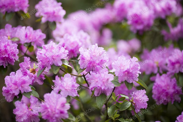 Rhododendron bloom in spring. Beautiful picture.