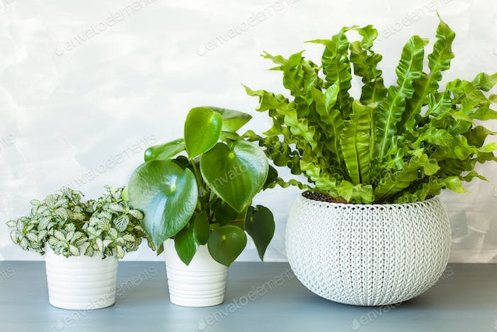 houseplant Asplenium nidus, peperomia and fittonia in flowerpot