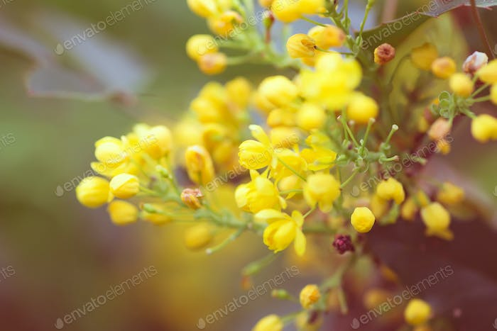 Greeting card with close up fresh aromatic Mahonia aquifolium flower against blurred background