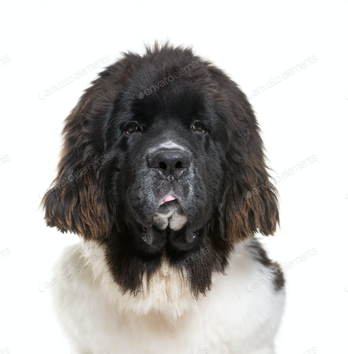 Newfoundland dog, 7 months old, in front of white background