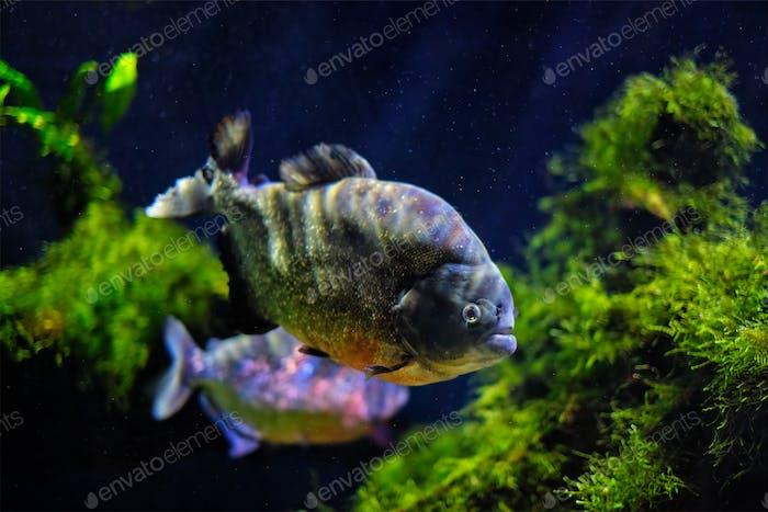 Red-bellied piranha red piranha
