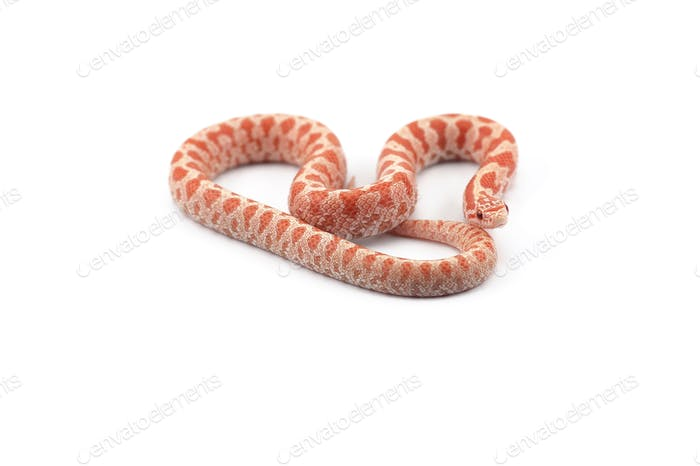 King snake isolated on white background
