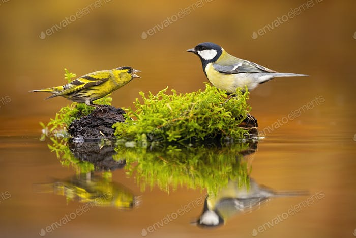 Dispute of eurasian siskin and great tit in autumnal nature