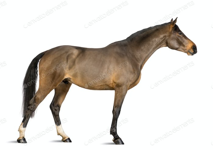 Side view of a Male Belgian Warmblood, BWP, 3 years old, stretching