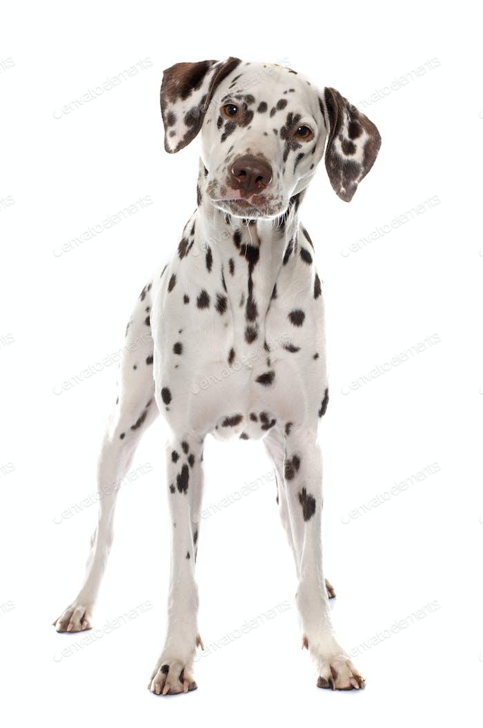 young female dalmatian