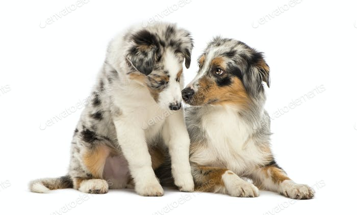 Australian Shepherd puppy, 3 months old, sitting next to its mother against white background